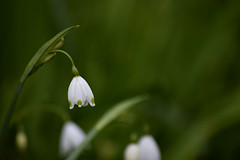 Snowdrop (The Wibbly One) Tags: bishopspalacegardens chichester snowdrop flower green white