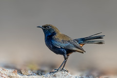 Rob.in (chandra.nitin) Tags: abp animal bird indianrobin male nature outdoor wildlife newdelhi delhi india