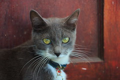 Kitty looking for a home (rjmiller1807) Tags: kitty cat greycat cute katze katte meow 2018 canoneos70d canon february shelter capetown southafrica westerncape lookingforahome whiskers sweet