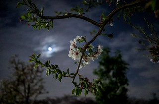 Moonlight sakura