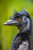 Emu (Mathias Appel) Tags: emu dromaius novaehollandiae australia mate bird vogel tier animal nature natur bokeh augen eyes large gros black blue orange schwarz blau portrait zoo tierpark nikon deutschland germany d7100 émeu daustralie emuo 100400 sigma