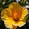 Yellow Hibiscus (L I C H T B I L D E R) Tags: hibiskus hibiscus gelb yellow flower portugal lagos algarve sommer summer blüte