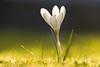 White Crocus (Till2310) Tags: crocus krokus white weis garten garden zwiebelblume frühblüher wiese meadow gras canon 5diii blume blüte flower blossom blatt blätter 100400mm macro makro stempel blütenblätter blur bokeh schärfentiefe