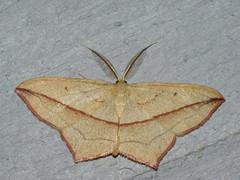 Timandra comae - Blood-vein - Пяденица щавелевая (Cossus) Tags: geometridae sterrhinae timandra пестово пяденица 2009