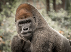 Lowland Gorilla, Zoo Atlanta (1 of 1).jpg (weatherfordm25) Tags: otheranimals zoo gorilla endangered animal face