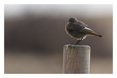 2018 03 24_Black Redstart-1 (Jonnersace) Tags: bird landguard felixstowe suffolk england post beach blackredstart phoenicurusochruros canon canon100400ii canon7dii