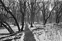 Forest entrance... (lupuszka) Tags: monochrome forest winter snow snowy trees tree cold bw blackandwhite natural sun backlight analog film neopan fujineopanacros acros acros100 light woods woodland