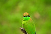 Little Green Bee-eater (Chandana Witharanage) Tags: srilanka southasia lifeisarainbow oneyearincolours lightgreen 1252weeks littlegreenbeeeater march closeup meropsorientalis capturedatyalanationalpark canoneos7d ef100400mmf4556lisusm photographybychandanawitharanage 7dwf sundayfauna specanimal coth5