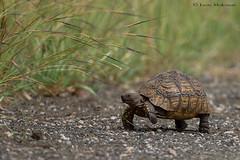 Leopard Tortoise (leendert3) Tags: leonmolenaar krugernationalpark southafrica wildlife nature leopardtortoise reptiles coth5 ngc naturethroughthelens npc