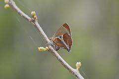 尖灰蝶/歪紋小灰蝶 (Sam's Photography Life) Tags: ç´ 尖灰蝶 歪紋小灰蝶 灰蝶 小灰蝶 蝴蝶 昆蟲 鱗翅 綠 nature marco mraco d850 nikon insect butterfly