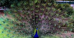 On Display (demilente) Tags: peacock male feathers display losangelesarboretum india festival angle