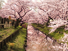 Shingashi River in Kawagoe [Explore] (chikuma_riv) Tags: japan nature landscape river lake mountain forest flower sunset sunrise spring summer autumn winter leaves