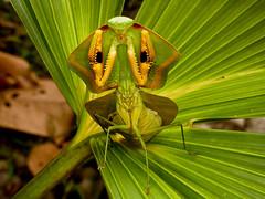Choeradodis rhomboidea (Eerika Schulz) Tags: choeradodis rhomboidea mantis gottesanbeterin religiosa puyo ecuador eerika schulz