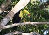 Keel-billed Toucan (sbuckinghamnj) Tags: toucan keelbilledtoucan panama bird