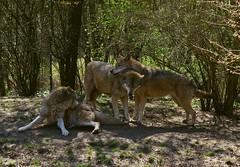 lupo (alph@ wolf) Tags: lupo wolves wolf wald natur naturphotography animal predator forest wildnature alphawolf photo photography pentax pentaxart pentaxk1 copyright sun sunlight signature