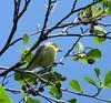 IMG_6353 (Marko_J_Aho) Tags: bird kultarinta pornaistenniemi vanhankaupunginlahti