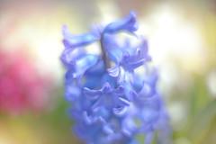 Blooming Spring... (KissThePixel) Tags: spring hyacinth flower flowers garden mygarden blueflower pinkflower bluehyacinth pinkhyacinth bokeh dreamy dreamybokeh softbokeh silky macro macromonday april love beauty beautiful nikon nikondf 50mm nikkor12 cottage cottagegarden creativeart art light