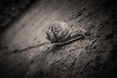 Racer (sebastianwilfling) Tags: snail street ground floor macro schnecke monochrome bw black white sharp depth field racing detailed
