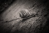 Racer (sebastianwilfling) Tags: snail street ground floor macro schnecke monochrome bw black white sharp depth field racing detailed