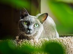 Green Eyes (jim.kinkennon) Tags: feline cat burmese european