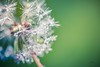 Drops of Magic (icemanphotos) Tags: dandelion spring dew droplet water magical meadow