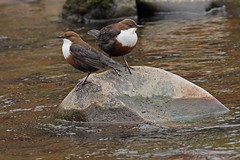 dipper (Explore) (DODO 1959) Tags: wildlife animal outdoor nature avian songbird birds dipper wales craigynos water pair olympus omdem1mk2 300mmf4 micro43 x14 fauna stone river