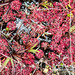 Sundew (Drosera kaieteurensis) carnivorous plant