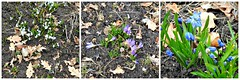 Spring flowers popping up!  - Explored (Trinimusic2008 -blessings) Tags: trinimusic2008 judymeikle nature today april 2018 spring toronto to ontario canada lake sonydschx80 triptych collage