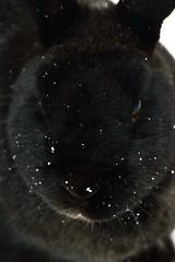 Rupert (SteveInLeighton's Photos) Tags: march 2018 bedfordshire beds bunny england leightonbuzzard rabbit rupert pets leightonlinslade unitedkingdom gbr