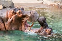 Adhama (male) & Boipelo (female) (shutterbugdancer) Tags: chimpanzee kamba gypsy tendaji lion lemur elephant adhama dallaszoo zoo animals boipelo hippos giraffe reticulatedgiraffe gorilla congo jenny