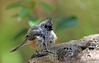 stop laughing (Dianne M.) Tags: titmouse bird nature outside bath feathers plumage wet happy florida ngc