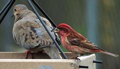 Feeder Pals (Songbill) Tags: stlouis missouri birdwatching backyardbirds purplefinch haemorhouspurpureus zenaidamacroura mourningdove