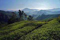 Cameron Highlands - Boh Tea Plantation 19 (luco*) Tags: malaisie malaysia cameron highlands boh tea plantation thé montagne hills collines arbres brume brouillard mist matin morning landscape paysage