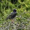 Starling (David R Hart) Tags: davidhart nikond850 afsnikkor200500mmf56edvr starling gardenvisitor gorsecovert warrington england wildlife nature bird