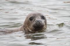 Grey Seal (TuKJo) Tags: grey seal mammal animal nature natural wildlife marine sea water