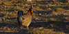 Lesser Prairie-Chicken (Tympanuchus pallidicinctus) - male dancing on a lek in a rising sun.  Milnesand Prairie Chicken Area.  New Mexico, USA. (cbrozek21) Tags: lesserprairiechicken tympanuchuspallidicinctus lek milnesandchickenarea newmexico male display courtship dancing bird chicken prairiechicken nature animal pentaxart pentaxflickraward
