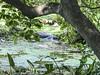 IMG_4998Ninfa : Una cascatella lungo il fiume Ninfa , parzialmente nascosta dalla vegetazione (sandromars) Tags: italia lazio latina ninfa cascatella