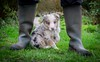 Welly Boot Shot (Chris Willis 10) Tags: chess sky star dog puppy bordercollie redmerle wellies
