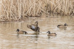 BLUE-WINGED TEAL (nsxbirder) Tags: bluewingedteal fernaldpreserve ross ohio hamiltoncounty