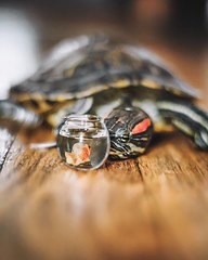 Friendship (City Turtles) Tags: friends cute 50mm indoors petphotography photography flickr canon dof reptile fish animal pet turtle