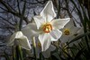 Narcissus Poeticus (Teddy Alfrey) Tags: narcissus daffodil nature nikon garden spring sundaylights