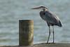 Heron at the Dock (Ken Krach Photography) Tags: greatblueheron middleriver