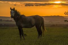 cavalo - horse - cheval - por do sol - sunset - couche du soleil (ricardo japur) Tags: wild nature fauna cerrado cavalo horse pordosol sunset