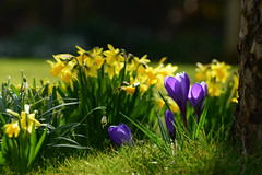 The colours of Spring (odell_rd) Tags: crocus daffodil snowdrop appletree spring 52in2018 tamronsp90 coth5 ngc npc