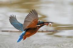 Birds in flight... (Gary Neville) Tags: bird sony sonyrx10iv rx10iv rx10m4 24fps garyneville kingfisher birdinflight