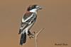 WOODCHAT  SHRIKE //  LANIUS  SENATOR (19cm) (tom webzell) Tags: naturethroughthelens