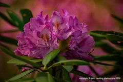 A Sea Of Pink (T i s d a l e) Tags: tisdale aseaofpink rhododendron blooms spring april 2018 easternnc