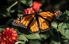 Monarch (Paul. (mp13 nhnc)) Tags: monarch bokeh green yellow black insect lantana foilage leaves flowers butterflybush