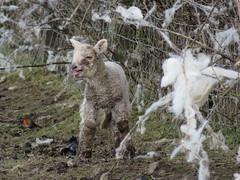 Where is My Mammy? & Robin ! You are no help! 19-03-2018 (gallftree008) Tags: where is mammy sheep lamb fence barbedwire crying dublin airport field farm codublin county classic co dap dublinairport dub eire eireann grass ireland irish irishwildlife march mum nature naturesbeauties naturescreations wool she stuck robin red breast wren came along see what was going on farmers back