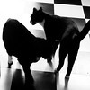 The cats match the tile. (battyward) Tags: buffy mickey catsofinstagram bw kitty checkerboard